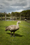 Grey goose Stock Photos