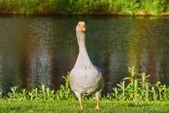 Grey Goose on the Grass Royalty Free Stock Photos