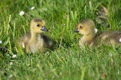 Grey Goose Biddy Royalty Free Stock Image