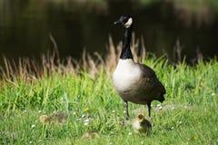 Grey Goose Biddy Royalty Free Stock Photos