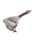 Grey goose Royalty Free Stock Photography