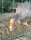 Grey goose in enclosure Stock Images