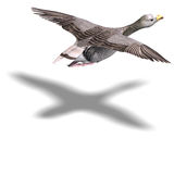 Grey goose in flight. 3D rendering with clipping path and shadow over white Royalty Free Stock Photography