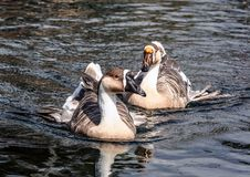 Grey goose floating on the pond in Japanese garden. stock photos