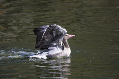 Grey Goose floating on water Royalty Free Stock Image