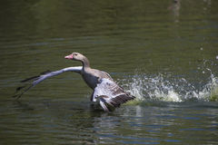 Grey Goose floating on water Royalty Free Stock Photography