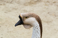 Grey goose. Head of a grey goose of a Chinese breed Royalty Free Stock Image