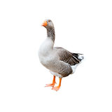 A grey goose, isolated Stock Images