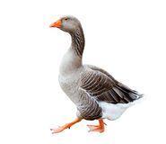 A grey goose Royalty Free Stock Photo