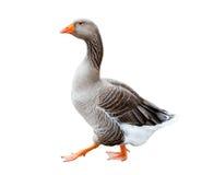A grey goose Royalty Free Stock Photo