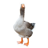 Grey goose, isolated Royalty Free Stock Images