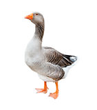 Grey goose, isolated Stock Photography