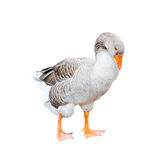 A grey goose, isolated Royalty Free Stock Image