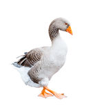 A grey goose, isolated Stock Photography