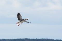 Grey Goose landing Stock Image