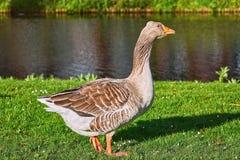 Grey Goose na grama imagens de stock royalty free