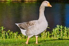 Grey Goose na grama foto de stock royalty free