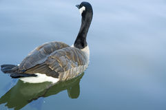 Grey Goose in the pond. Photo of a goose taking his time in the pond stock photo