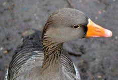 Grey goose portrait. Close up of a grey goose portrait Stock Photo