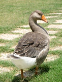 Grey goose showing his feathers. And walking in the grass stock photo