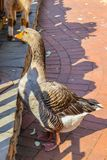 Grey goose standing on the ground Royalty Free Stock Photo