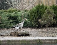 Grey Goose Standing no quintal naturalmente Imagens de Stock