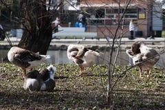 Grey Goose Standing no quintal naturalmente Fotos de Stock Royalty Free