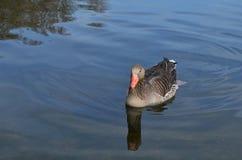 Grey goose swims in lake stock photo