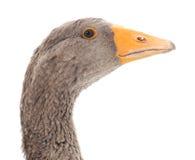 Grey goose. Royalty Free Stock Photo