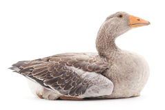 Grey goose. Royalty Free Stock Photo