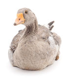 Grey goose. Royalty Free Stock Photography