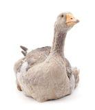Grey goose. Stock Photo