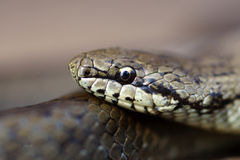 Grey grass-snake Royalty Free Stock Images