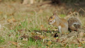 Grey or Gray Squirrel (Sciurus carolinensis) burying or caching an acorn in an autumn woodland stock video