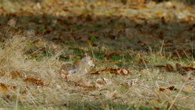 Grey or Gray Squirrel (Sciurus carolinensis) feeding on chestnuts stock video footage