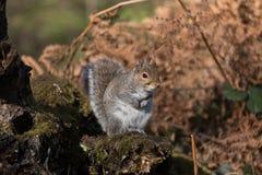 Grey Gray Squirrel Sciurus carolinensis Stock Image
