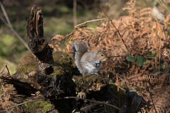 Grey Gray Squirrel Sciurus carolinensis Royalty Free Stock Images