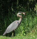 Grey great heron Royalty Free Stock Photos