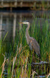Grey great heron Stock Photography