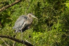 Grey great heron Stock Images