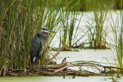 Grey great heron Stock Photography
