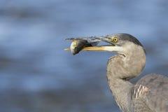 Grey great heron Stock Photos