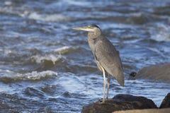 Grey great heron Royalty Free Stock Photography