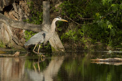 Grey great heron Stock Image
