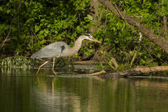 Grey great heron fishing Royalty Free Stock Photography