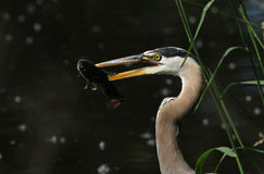 Grey great heron portrait Royalty Free Stock Image