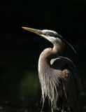 Grey great heron portrait Royalty Free Stock Photos