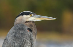 Grey great heron portrait Stock Image
