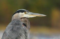 Grey great heron portrait Stock Image