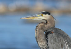 Grey great heron portrait Stock Photography